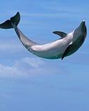 άλμα χαράς δελφινιών Στοκ Φωτογραφίες