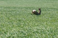 Άλμα Buck ελαφιών αυγοτάραχων στον τομέα σίτου Άγρια φύση ελαφιών αυγοτάραχων Στοκ Φωτογραφία