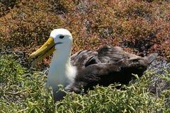 άλμπατρος galapagos Στοκ εικόνες με δικαίωμα ελεύθερης χρήσης