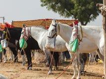 Άλογα από το Pushkar Mela στο φεστιβάλ Pushkar στοκ εικόνα με δικαίωμα ελεύθερης χρήσης