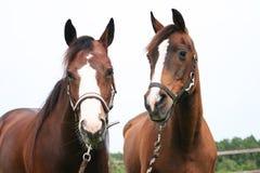 άλογα αρκετά δύο Στοκ εικόνα με δικαίωμα ελεύθερης χρήσης