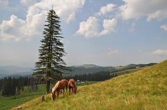 άλογα βουνοπλαγιών Στοκ Φωτογραφίες