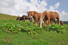 άλογα βουνοπλαγιών Στοκ φωτογραφία με δικαίωμα ελεύθερης χρήσης