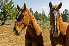 άλογα δύο Στοκ εικόνες με δικαίωμα ελεύθερης χρήσης