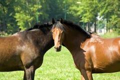 άλογα δύο Στοκ εικόνα με δικαίωμα ελεύθερης χρήσης