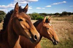 άλογα διασταύρωσης Στοκ φωτογραφίες με δικαίωμα ελεύθερης χρήσης