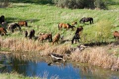 άλογα κολπίσκου στοκ φωτογραφία