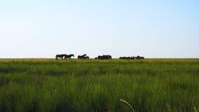 Άλογα κοπαδιών στο λιβάδι στο λιβάδι στεπών απόθεμα βίντεο