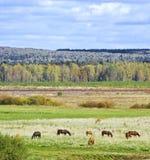 άλογα κοπαδιών Στοκ Εικόνα
