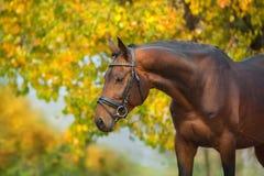 Άλογα κόλπων στο χαλινάρι στοκ εικόνες