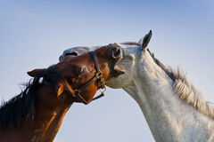 άλογα που αγαπούν δύο Στοκ Εικόνες