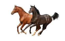άλογα που απομονώνονται Στοκ Εικόνες