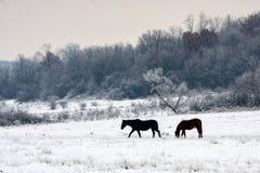 Άλογα που βόσκουν μέσω του χιονώδους τομέα Στοκ Φωτογραφία