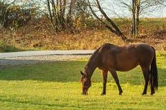Άλογα που βόσκουν σε ένα λιβάδι Θερμή πτώση ακτίνων ήλιων φθινοπώρου στη χλόη στοκ εικόνες με δικαίωμα ελεύθερης χρήσης