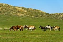 Άλογα που βόσκουν στη στέπα, Μογγολία στοκ φωτογραφίες με δικαίωμα ελεύθερης χρήσης