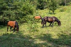 Άλογα που βόσκουν τα στρώματα flysch Zumaia, Playa de Sakoneta, Ισπανία στοκ φωτογραφία