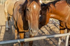 Άλογα που εξετάζουν σας κινηματογράφηση σε πρώτο πλάνο στοκ φωτογραφίες με δικαίωμα ελεύθερης χρήσης