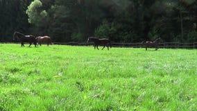 Άλογα που οργανώνονται ελεύθερα στο λιβάδι σε αργή κίνηση φιλμ μικρού μήκους