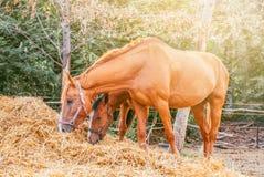 Άλογα που τρώνε έναν σανό στο καλοκαίρι αγροκτημάτων στοκ εικόνες