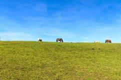 Άλογα σε έναν τομέα λιβαδιού στοκ εικόνες