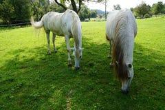 Άλογα σε ένα λιβάδι Στοκ Φωτογραφίες