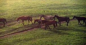 Άλογα στην υδρονέφωση 4K πρωινού απόθεμα βίντεο