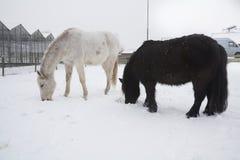 Άλογα στο χιόνι Στοκ Φωτογραφία