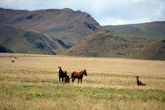 Άλογα στο paramo στην οικολογική επιφύλαξη Antisana, Ecaudor Στοκ φωτογραφίες με δικαίωμα ελεύθερης χρήσης