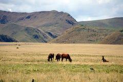 Άλογα στο paramo στην οικολογική επιφύλαξη Antisana, Ecaudor Στοκ εικόνες με δικαίωμα ελεύθερης χρήσης