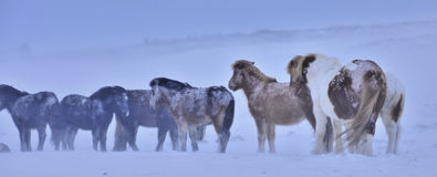 άλογα Στοκ Εικόνα