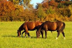 άλογα Στοκ Φωτογραφία
