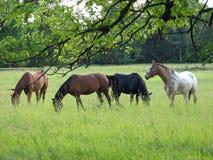 άλογα Στοκ Εικόνες