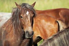 Άλογα (caballus ferus Equus) στοκ εικόνες