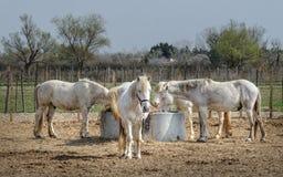 Άλογα Camargue: Το Camargue Provençal Camarga είναι ένας φυσικός τοποθετημένος περιοχή νότος Arles, Γαλλία στοκ εικόνα με δικαίωμα ελεύθερης χρήσης