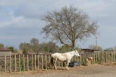 Άλογα Camargue: Το Camargue Provençal Camarga είναι ένας φυσικός τοποθετημένος περιοχή νότος Arles, Γαλλία στοκ εικόνα