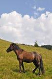 άλογο βουνοπλαγιών Στοκ Εικόνα