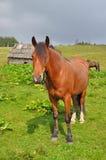άλογο βουνοπλαγιών Στοκ Εικόνες