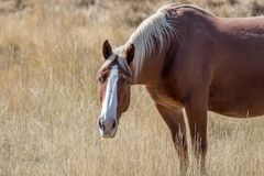 Άλογο δανείου σε μια ξηρά περιοχή καλλιεργήσιμου εδάφους λιβαδιού Στοκ Φωτογραφίες