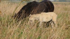 Άλογο ενηλίκων και μωρών konik απόθεμα βίντεο