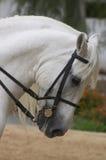 άλογο Ισπανία της Ανδαλουσίας Στοκ Εικόνες
