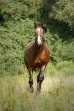 Άλογο κάστανων με το άσπρο μπροστινό τρέξιμο προς τη κάμερα στοκ εικόνα