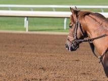 Άλογο κάστανων με το διάστημα αντιγράφων Στοκ φωτογραφίες με δικαίωμα ελεύθερης χρήσης
