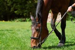 Άλογο κάστανων που τρώει τη χλόη Στοκ φωτογραφίες με δικαίωμα ελεύθερης χρήσης