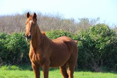 Άλογο κάστανων σε έναν τομέα Στοκ Φωτογραφίες