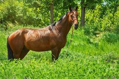 Άλογο κάστανων στη χλόη Στοκ φωτογραφία με δικαίωμα ελεύθερης χρήσης
