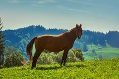 Άλογο κάστανων στο λιβάδι Στοκ Εικόνα