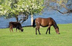 Άλογο και ταύρος στοκ εικόνες με δικαίωμα ελεύθερης χρήσης