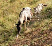 Άλογο και foal που περπατούν κατά μήκος του ίχνους Στοκ Εικόνες