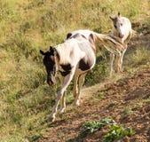 Άλογο και foal που περπατούν κατά μήκος του ίχνους Στοκ εικόνα με δικαίωμα ελεύθερης χρήσης