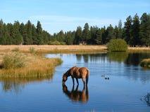 άλογο κατανάλωσης Στοκ Εικόνες
